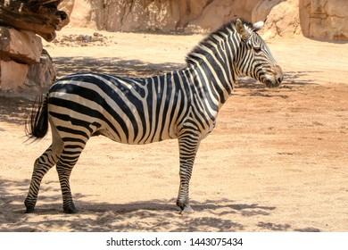 Portrait of a zebra in a zoo