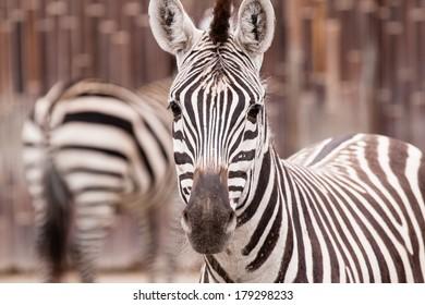 Portrait of zebra in ZOO in Czech Republic