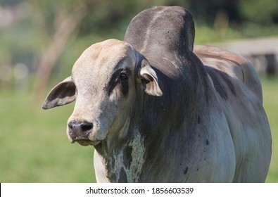 Portrait of a zebu bull at pasture