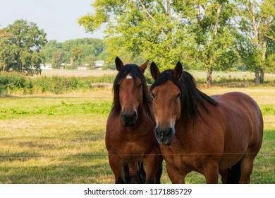 Portrait zweier Pferde