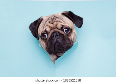 Portraite of cute dog of the pug breed climbs out of hole in colored background. Little funny puppy on bright trendy blue background. Free space for text.