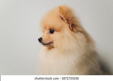 Pomeranian Wall Hd Stock Images Shutterstock