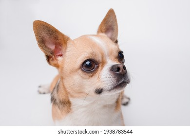 Portraite of cute puppy chihuahua on white background. Little smiling dog.