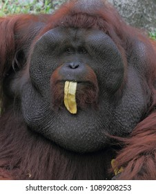 portraits of adult male orangutan in the zoo