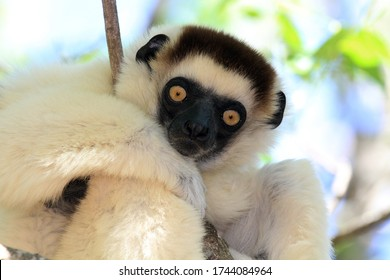 Portraits of an adult Verreaux's Sifaka from Madagascar