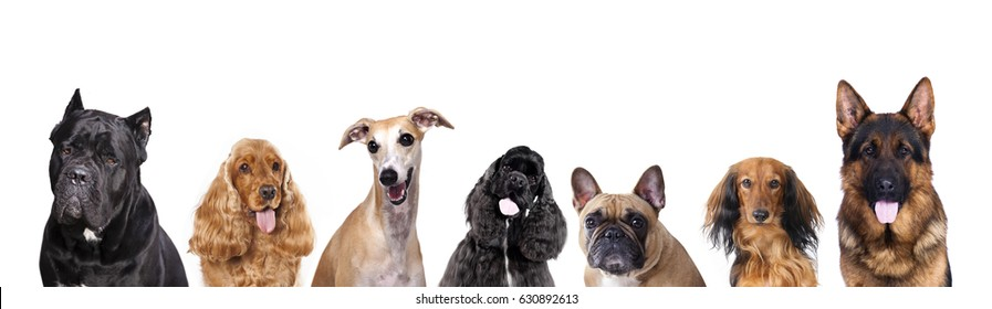 Portraits of dogs of the group on a white background, spaniel, shepherd, dachshund longhaired, cane corso italian, german shepherd