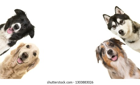 Portraits of four dogs at the borders looking at the camera on a white background with space for copy