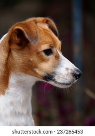 portraits of a happy active young Jack Russel terrier dog white and brown playing around a house with home outdoor surrounding making serious face under morning sunlight watching outside
