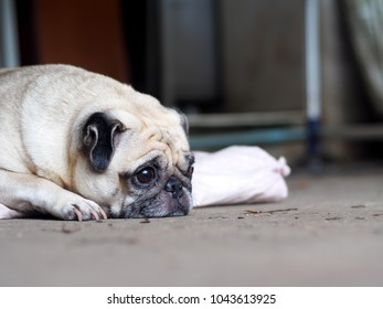 portraits photo of a lovely white fat cute pug dog laying flat on warm concrete garage floor making sad and lonesome face shallow depth of field, blur outdoor home garage background