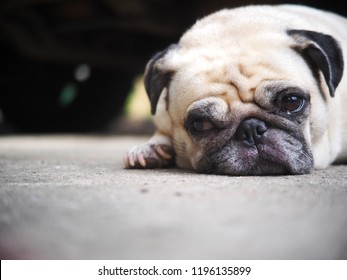 portraits photo of a lovely white fat cute pug dog laying flat on concrete garage floor from above making sad and lonesome face under warm natural sunlight, shallow depth of field, blur background