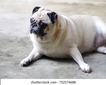portraits photo of a lovely white fat cute pug dog laying flat on warm concrete garage floor making sad and lonesome face under natural summer sunlight, shallow depth of field, blur background