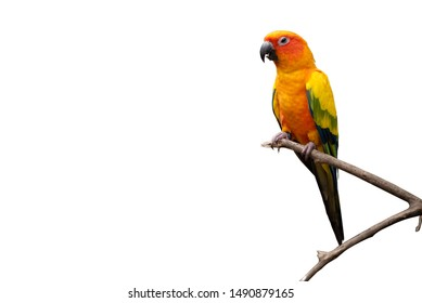 Portraits of sun conure parrot standing on a branch with his colorful plumage and long sharp beak isolated on white background. clipping path