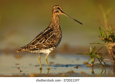 Portrait,small wader,migratory bird with long bill,Common Snipe, Gallinago gallinago, brown plumage with straw-yellow stripes feeding in shallow water reflecting bird's silhouette in early morning.
