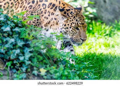 Portraiture of a chinese Leopard walking through green bushes
