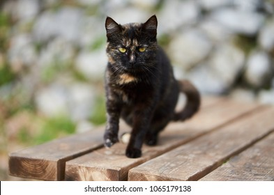 Portraiture of wild black calico cat or tortoiseshell cat with colored patches looking straight to the camera.