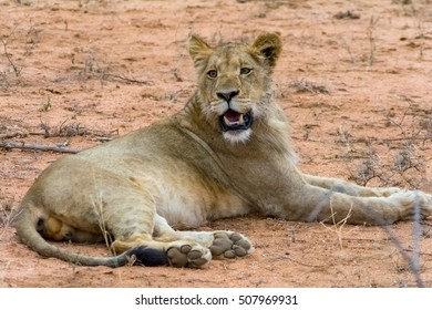 Portraiture of young male lion in Kruger National Park in South Africa