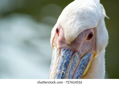 Portrate of pelican