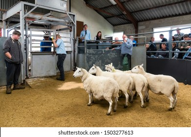 Portree, Scotland, UK - August 26, 2019: Lambs and ewes auction sales in Portree, Skye Island, Scotland.