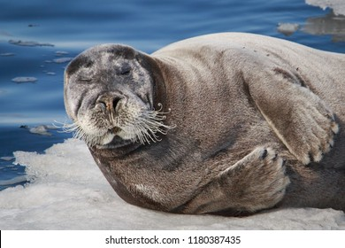 Portret of Bearded seal, square flipper seal having a rest on the Ice floe. Erignathus barbatus.