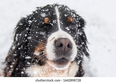 Portret of Bernese mountain dog at winter day.  Snowflakes fall on the dog's face