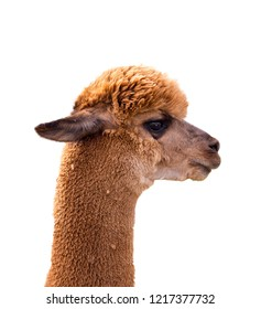 portret of brown alpaca isolated on white background