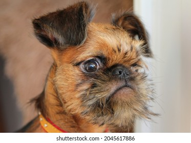 Portret of Brussels Griffon young dog - Shutterstock ID 2045617886