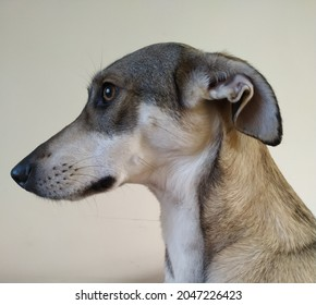 Portret of a dog. The ears are laid back, the state of mind is insecure of the object in front. - Shutterstock ID 2047226423