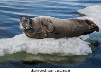 Portret of seal having a rest on the Ice floe. Erignathus barbatus.