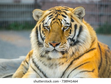 The portret of tiger.