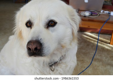 Portret of a white Great Pyrenees dog sittting.  - Shutterstock ID 1986361553