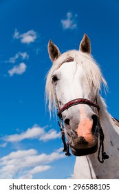 Portret of a white horse