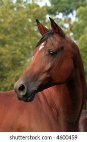 Porttait of an Arabian mare