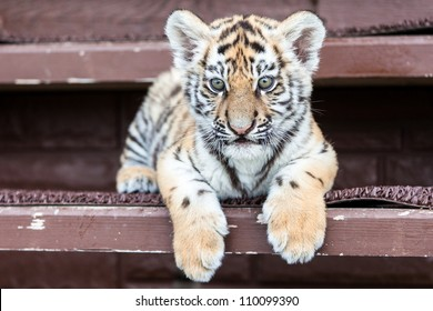 Porttrait of tiger cub on black background