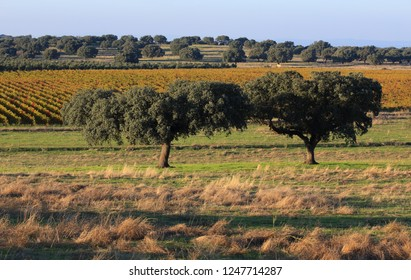 Portugal, Alentejo, Evora - cork oak trees - Quercus suber and vineyard in background. Autumn colours in late afternoon sunlight.