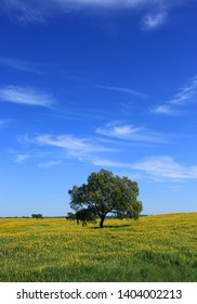 Portugal, Alentejo, Evora - solitary cork oak tree - Quercus suber, in a field of yellow lupin flowers in springtime.