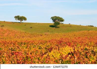 Portugal, Alentejo Region,  Beautiful vineyard in Autumn colours near Evora. Cork oaks  Quercus Suber on the horizon.