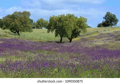 Portugal, Alentejo Region near Evora - Cork oak trees - Quercus suber, in a field of colorful spring flowers.