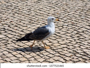 Portugal, Algarve. Young seagull walking on typical Portuguese, cobble stone paving known as 'calcada'.