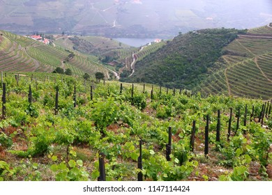 Portugal wine region - vineyards on hills along Douro river valley. Alto Douro DOC.