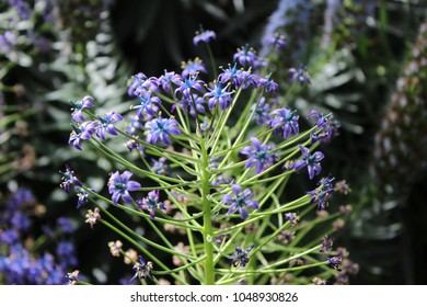PORTUGESE SQUILL PLANTS