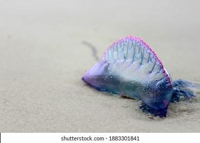 Portuguese man-o'-war jellyfish on the beach sand