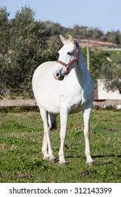 Portuguese Lusitano Horse