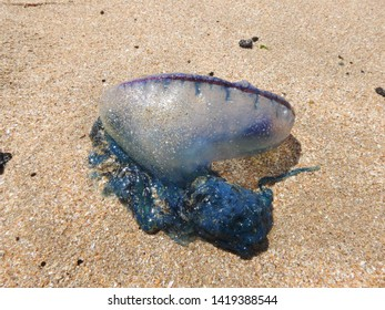 The Portuguese man o' war Bluebottle jellyfish washed up in Tarfaya Morocco beach.The Portuguese man o' war (Physalia physalis), also known as the Bluebottle, man-of-war, or bluebottle