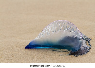 Portuguese Man O War Jellyfish on the beach of South padre, TX.