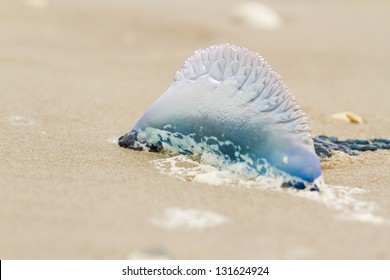 Portuguese Man O War Jellyfish on the beach of South Padre Island, TX.
