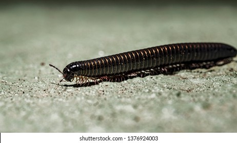 Portuguese millipede, is a herbivorous millipede native to the southern Iberian Peninsula where it shares its range with other Ommatoiulus species