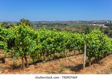 Portuguese vineyards of the zone Alentejo. Summer