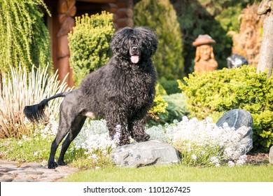 Portuguese Water Dog posing in beautiful garden.