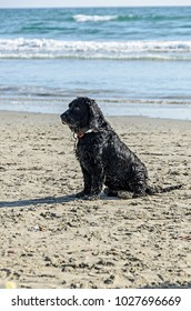 Portuguese Water Dog standing on the sea beach, portrait close up.