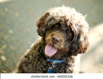 Portuguese water dog wags his tongue while soaking in the sun on summer day in his driveway